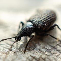 the beetle 2 (henderson231280) Tags: beetle bug insect macro