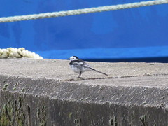Pied Wagtail at South Quay (LookaroundAnne) Tags: bird wildlife piedwagtail southquay greatyarmouth yarmouth norfolk