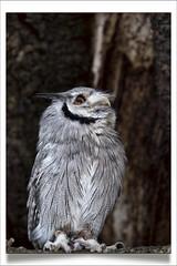 Photo of SCOPS Owl, Fife, Scotland
