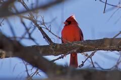 Norther Cardinal (AndyStandy7) Tags: bird cardinal northern birding ottawa fletcher wildlife garden