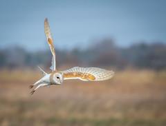 Barn owl (Steve Samosa Photography) Tags: england liverpool unitedkingdom wildlife birding birdsinflight owls barnowl birdsofprey lunt sefton birdphotography luntmeadownaturereserve