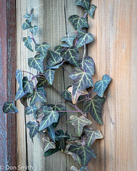 Winter Ivy (Don Smith Photo) Tags: 365 art bookmark bouquet color decor decoration decorative design floral flower flowers frame greeting grunge holiday ivy leaf old paper pattern plant retro ribbon season sill structuralmember texture vase vintage wall windowsill