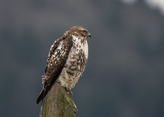 "Tagged ""A15"" (nickinthegarden) Tags: redtailedhawk sumasprairie abbotsfordbccanada"