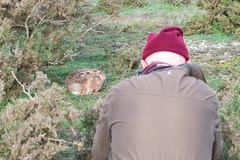 Brown Hare on Havergate Island (Alan Dixon) Tags: britishmammal brownhare england europe havergate island lagomorph lepuseuropaeus norfolk winter