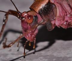 Dark Blush Katydid Caedicia sp. Tettigoniidae Mandalay rainforest Airlie Beach P1112604 (Steve & Alison1) Tags: dark blush katydid caedicia sp tettigoniidae mandalay rainforest airlie beach