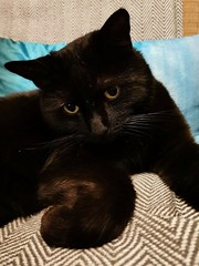 This is why l love you (mootzie) Tags: cat black pet marley bashful