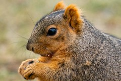 Squirrel up close with crumbs (pulper) Tags: brownsquirrel squirrel foxsquirrel peanut