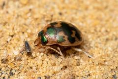 Omophron limbatum (a ground beetle) - Carabidae - Burgh Castle, Norfolk, UK-4 (C. Kirby-Lambert) Tags: burghcastle carabidae coleoptera july2019 norfolk omophron omophronlimbatum sandpit uk insect