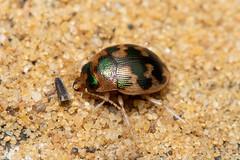 Omophron limbatum (a ground beetle) - Carabidae - Burgh Castle, Norfolk, UK (C. Kirby-Lambert) Tags: burghcastle carabidae coleoptera july2019 norfolk omophron omophronlimbatum sandpit uk insect
