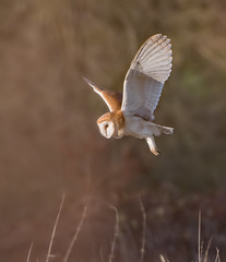 DSC_3534  BARN OWL (davie b 777) Tags: barn owl flying hunting