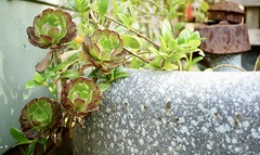 in the garden (BusyBl.Mtns.Grandma) Tags: succulent