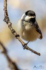 Black-capped Chickadee (C7D0630) (matxutca (cindy)) Tags: willardbay utah birds feathers outdoors nature blackcappedchickadee one single perched feeding small