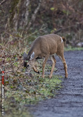 columbian black-tailed deer (odocoileus hemionus columbianus) (punkbirdr) Tags: kusmin nikon birding d500 500mmedafsif4 punkbirdrphoto columbianblacktaileddeer odocoileushemionuscolumbianus maplewoodflats