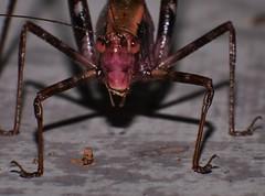 Dark Blush Katydid Caedicia sp. Tettigoniidae Mandalay rainforest Airlie Beach P1112603 (Steve & Alison1) Tags: dark blush katydid caedicia sp tettigoniidae mandalay rainforest airlie beach