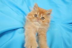 Persian Kitten (dollfacepersiankittens.com) Tags: persian kittens for sale red cats orange kitten cat breeders doll face dollface animals felines feline animal pets pet