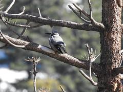 Clark's Nutcracker41 (Danielle_M_Bedics) Tags: clarksnutcracker bird birding birdwatching hike hiking cloudburstsummit coopercanyon angelesnationalforest