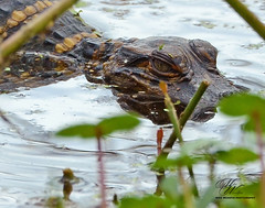 Baby Gator (Mike Woodfin) Tags: mikewoodfin mikewoodfinphotography canon contrast color cool crusty country county nikon nature notrespassing fuji florida fl fishing gator alligator babyalligator circlebbarreserve circlebbar lakeland polk swamp wetlands water reflection reflections park