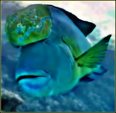 Nuchal Humped Cichlid  Fish (janetfo747 ~ Dreaming of Africa) Tags: head bump nuchal sex forehead bulge hormonal swell male ocichild fish mating