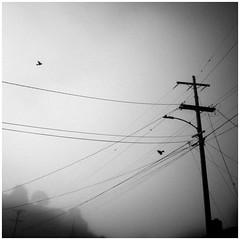 (Glenn Chickering) Tags: fog sanleandro ca california powerlines birds 52weekswithclondon morning moody suburbs blackandwhite canon 6d week7