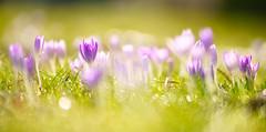 Im Licht (KaAuenwasser) Tags: krokus krokusse blüten blüte blume pflanze pflanzen wiese licht sonne sonnenlicht fein zart zerbrechlich makro nah bokeh garten park februar 2020 jahreszeit wärme warm botanischergartenkarlsruhe botanischergarten ngc
