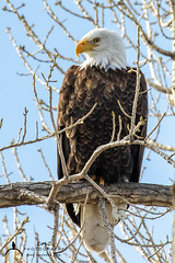 Bald Eagle (C7D0895) (matxutca (cindy)) Tags: willardbay utah birds feathers outdoors nature baldeagle perched eagle single one