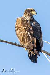 Juvenile Bald Eagle (C7D0400) (matxutca (cindy)) Tags: willardbay utah birds feathers outdoors nature baldeagle perched eagle single one juvenile