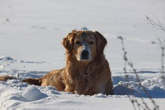 IMG2_4414 (Eaulive) Tags: golden retriever