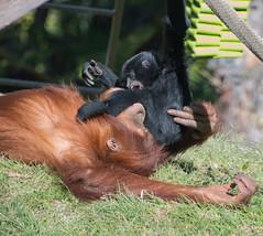 Siamang Torments Orangutan (petersonao) Tags: sandiegozoo sonyrx10m4 orangutan siamang