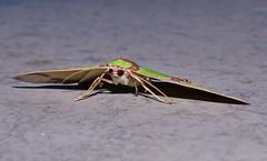 Green and brown sharkie moth Agathia sp aff prasinaspis Geometrinae Geometridae Geometroidea Mandalay rainforest Airlie Beach P1210184 (Steve & Alison1) Tags: green brown sharkie moth agathia sp aff geometrinae geometridae geometroidea mandalay rainforest airlie beach prasinaspis