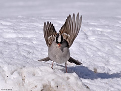 White-crowned Sparrow (bug-in-my-eye) Tags: aves passeriformes emberizidae