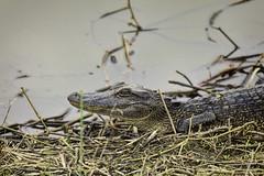 20200216-ANWR.084 (Scott Sanford Photography) Tags: 5dmarkiv canon ef100400mmf4556lisiiusm eos gulfcoast nationalwildliferefuge naturallight nature outdoor texas water wildlife alligator reptile
