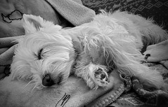 Belle Dreaming (mswan777) Tags: pet dog sleep fur rest cute ear paws couch apple iphone iphoneography mobile west highland white terrier monochrome black ansel blanket