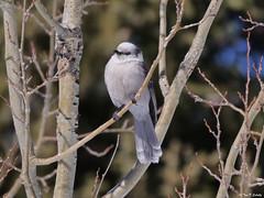 Canada Jay (bug-in-my-eye) Tags: aves passeriformes corvidae
