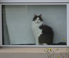 Classic Cat in Window (mikecogh) Tags: adelaide cat window classic blind pet hendon