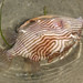 Dead Striped Fish