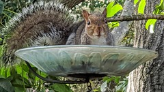 My Neighbor (janetfo747 ~ Dreaming of Africa) Tags: squirrel neighbor feed wild nature harry brown gray feeder hanger birdseed peanuts sunflowerseeds