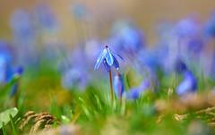 Eine Blüte aus vielen (KaAuenwasser) Tags: blaustern blüte blüten blau farbe pflanze makro nah garten park botanischergarten anlage jahreszeit ort platz stelle zier zierpflanze licht bokeh