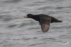 Black Scoter (Meadowlands Photo) Tags: