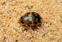 Omophron limbatum (a ground beetle) - Carabidae - Burgh Castle, Norfolk, UK-6 (C. Kirby-Lambert) Tags: burghcastle carabidae coleoptera july2019 norfolk omophron omophronlimbatum sandpit uk insect
