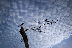 A Bird (bernard05291965) Tags: birds philippines nature landscape clouds shrike bluehours