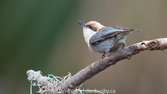 Brown-headed Nuthatch (busville) Tags: bhnuaves brownheadednuthatch passeriformes sittapusilla sittidae hiltonheadisland sc usa