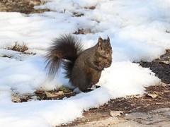 Squirrel (Janet Tubb) Tags: animal mammal skedranimal skedrcanon skedrnature squirrel oshawa ontario canada