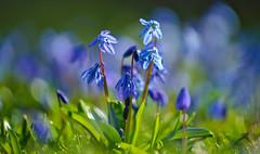 Blaustern (KaAuenwasser) Tags: blaustern blausterne blüten blüte blume pflanze pflanzen wiese licht sonne sonnenlicht fein zart zerbrechlich makro nah bokeh garten park februar 2020 jahreszeit wärme warm botanischergartenkarlsruhe botanischergarten blau farbe