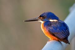 Azure Kingfisher (eBird.org) Tags: ebird front page birds birding conservation australia australasia avifauna kingfisher citizen science cornell lab ornithology macaulay library