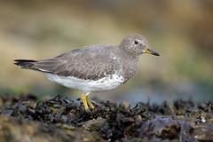 Surfbird (eBird.org) Tags: ebird front page surbird shorebirds photography birding macaulay library conservation science cornell lab
