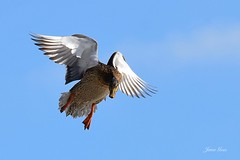 Mallard (janagoss32) Tags: female duck mallard flying bluesky