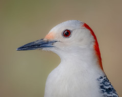 Portrait of a Lady (tresed47) Tags: 2020 202002feb 20200211homebirds birds canon7dmkii chestercounty content february folder home pennsylvania peterscamera petersphotos places redbelliedwoodpecker season takenby us winter woodpecker