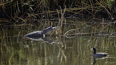 20200216-ANWR.031 (Scott Sanford Photography) Tags: 5dmarkiv canon ef100400mmf4556lisiiusm eos gulfcoast nationalwildliferefuge naturallight nature outdoor texas water wildlife alligator reptile reflection