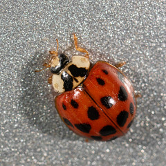 (jciv) Tags: macro insect beetle ladybug ladybeetle file:name=dsc04199