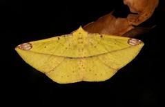 Geometrid Moth (Pseudomiza cf. aurata, Ennominae, Geometridae) (John Horstman (itchydogimages, SINOBUG)) Tags: insect macro china yunnan itchydogimages sinobug entomology canon moth lepidoptera yellow black ennominae geometridae fbipm